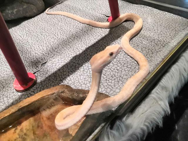 白ヘビの画像
