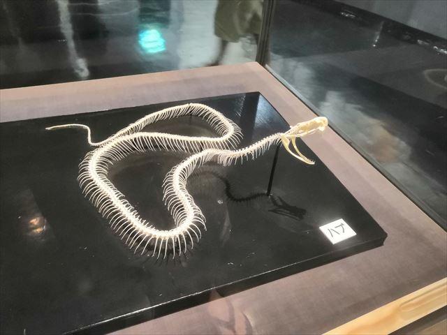 ハブの骨格標本