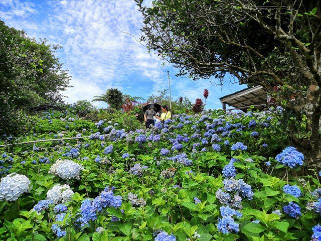 【沖縄絶景】よへなあじさい園で超絶きれいなあじさいにまみれる!